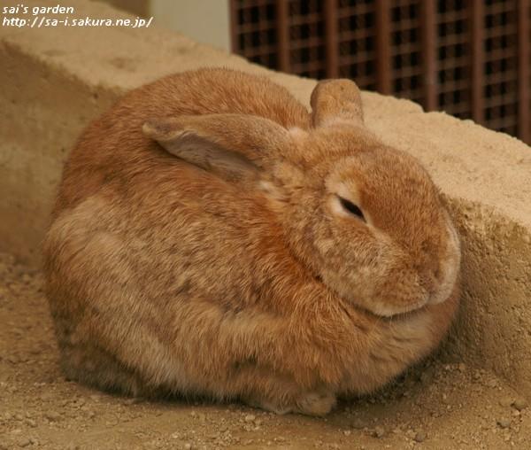 ロップイヤーウサギ