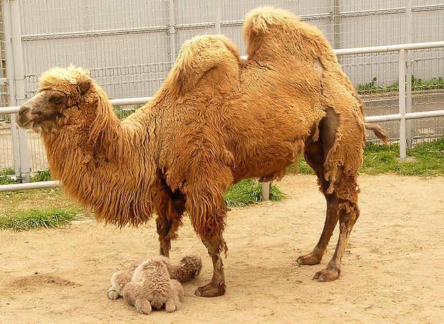 ラクダ赤ちゃん